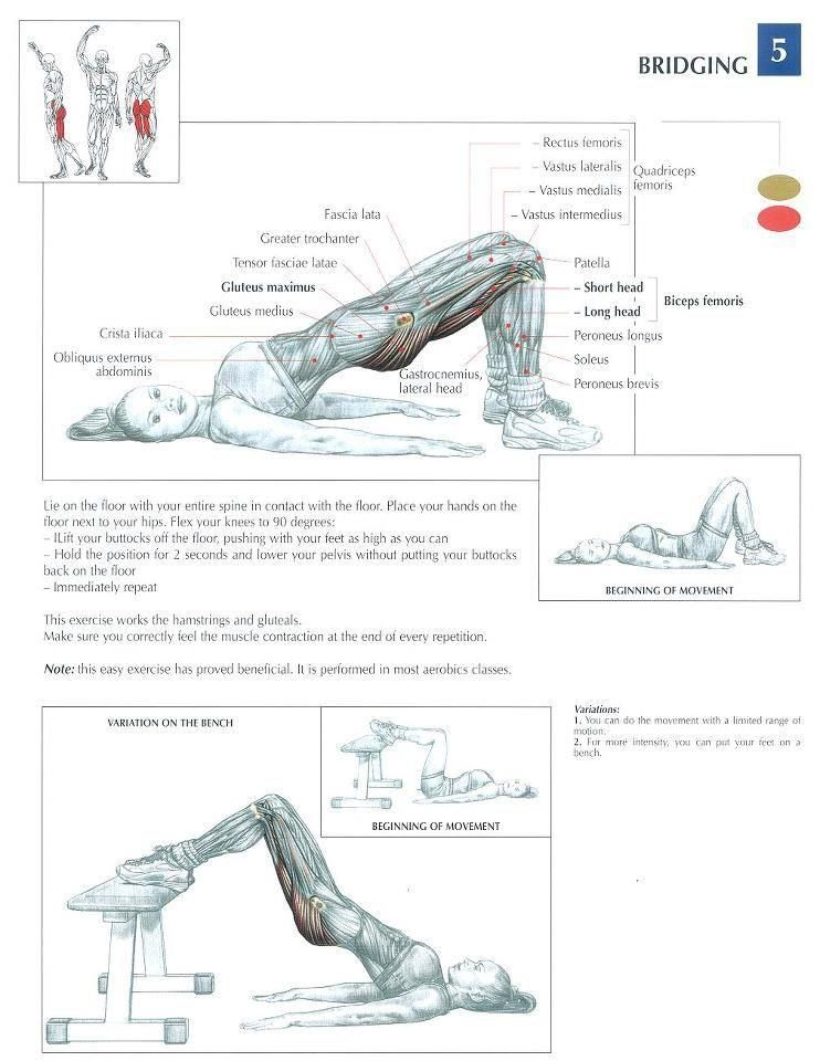 Bridging ♢ #health #fitness #exercises #diagrams #body #muscles