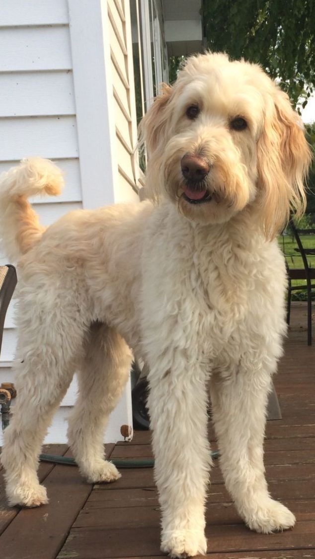 16 new goldendoodle haircut guide pictures meowlogy 16 new goldendoodle haircut guide pictures meowlogy