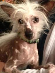 Petfinder Adoptable Dog | Chinese Crested Dog | Baton Rouge, LA | Harry