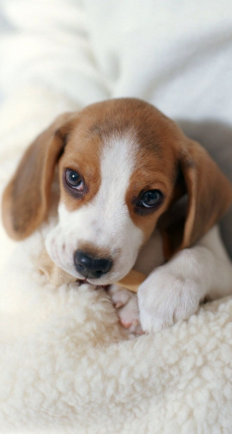My Howling Beagles Puppies Beagle Puppy Cute Animals