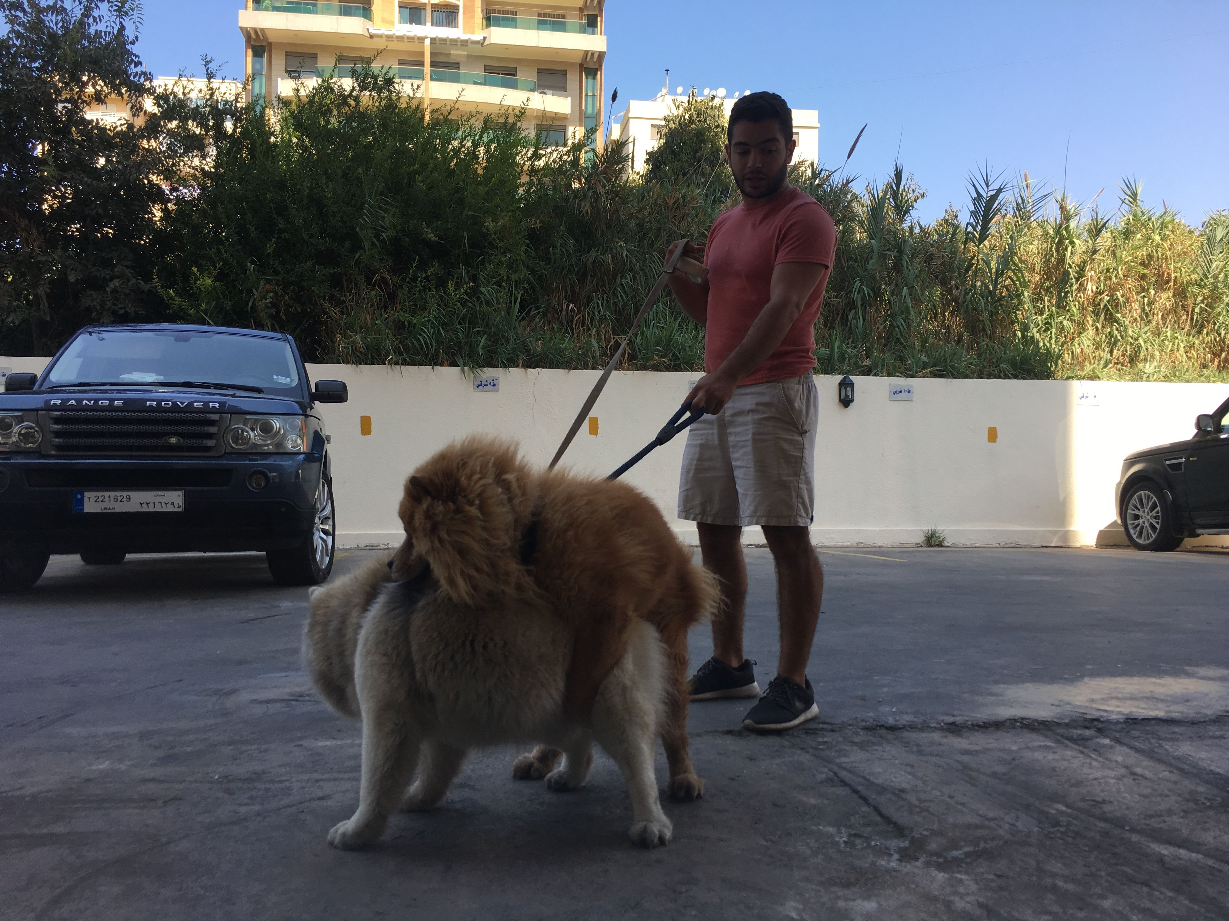 Two Chowchow Dogs Mating Dog Chowchow Animal Memes Dogs Animals