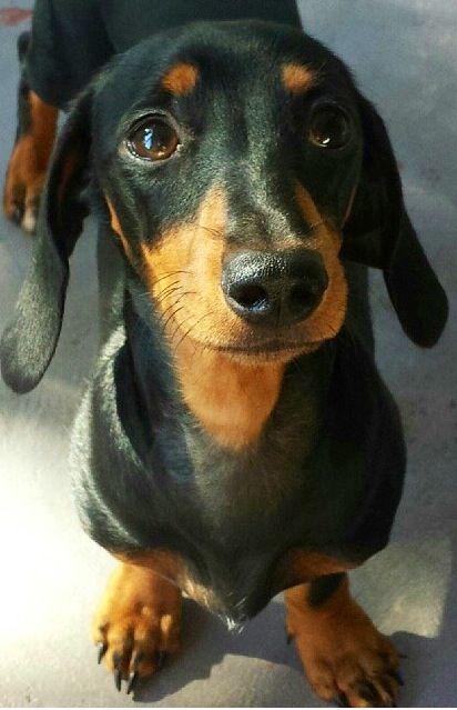 Pin By Miss Kopimiks On I Love Dachshunds Black And Tan Dachshund Wiener Dog Mini Dachshund