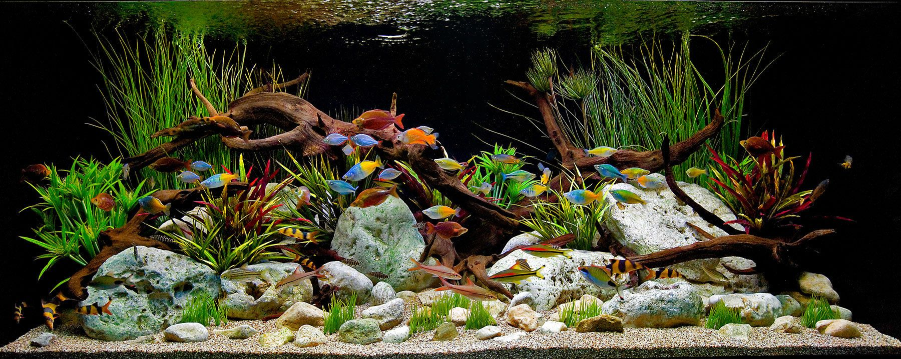 Perfect Aquarium Design Group   A Classic Decorative Freshwater Aquascape Witrh  Driftwood And Stones