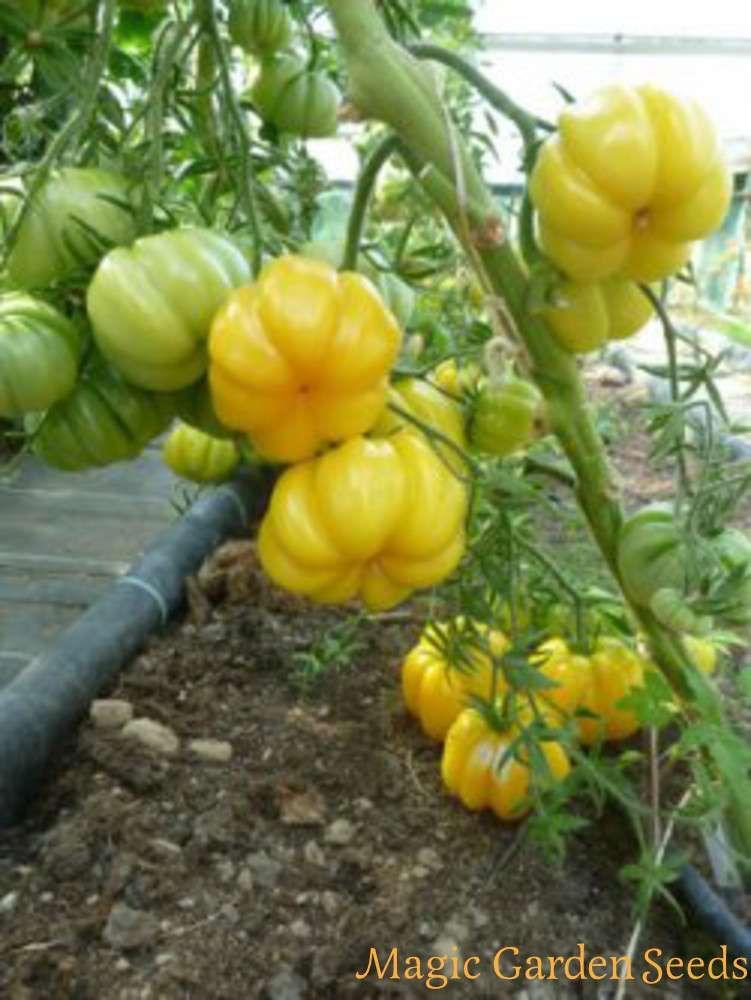 Pink Accordion Tomate Saatgut Samenfest Vegan Bio alte Sorten