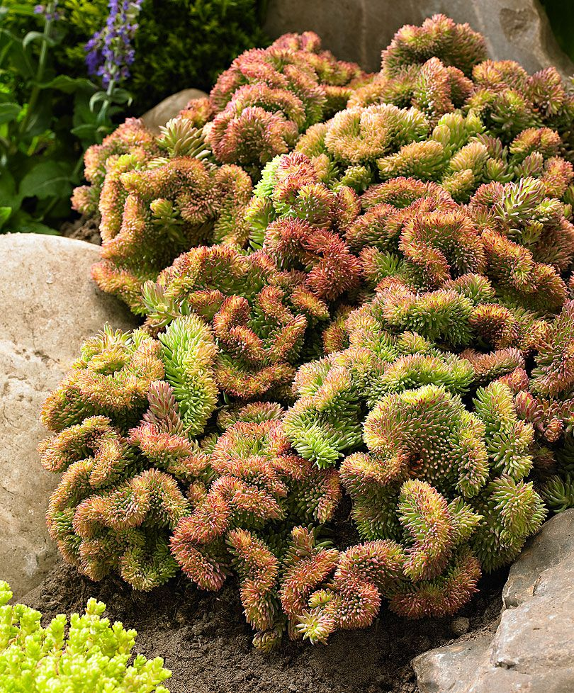 Crested Stonecrop | Plants from Bakker Spalding Garden Company | "|810|978|?|8b5a63a1a0bf18d44609a8d330f06829|False|UNLIKELY|0.31863823533058167