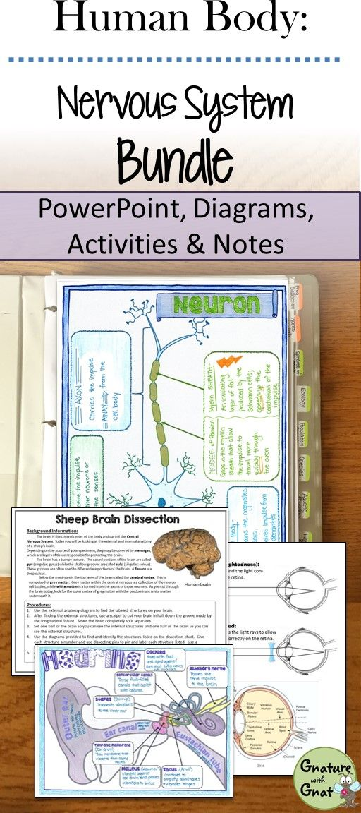 Nervous System Unit- PowerPoint, Doodle Notes, Diagrams, Labs ...