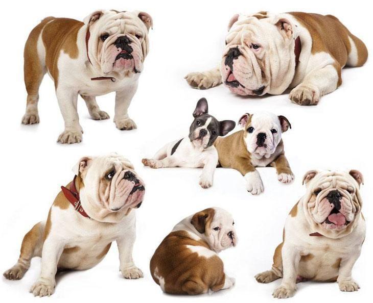Bulldog Names For English French American Bull Dogs Bulldog