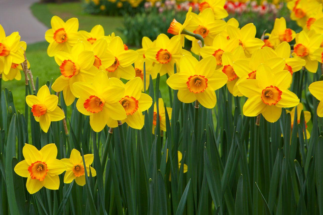 Fiori Gialli Maggio.1st Of March Daffodil Happiness Piantare Fiori Fiori E