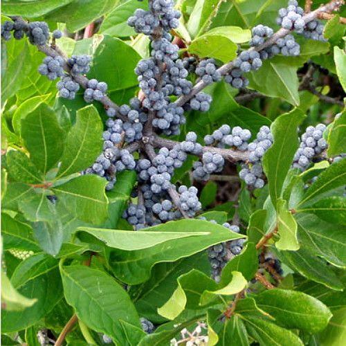 Northern Bayberry Shrub Seeds, Hardy Fragrant Hedge Myrica pensylvanica