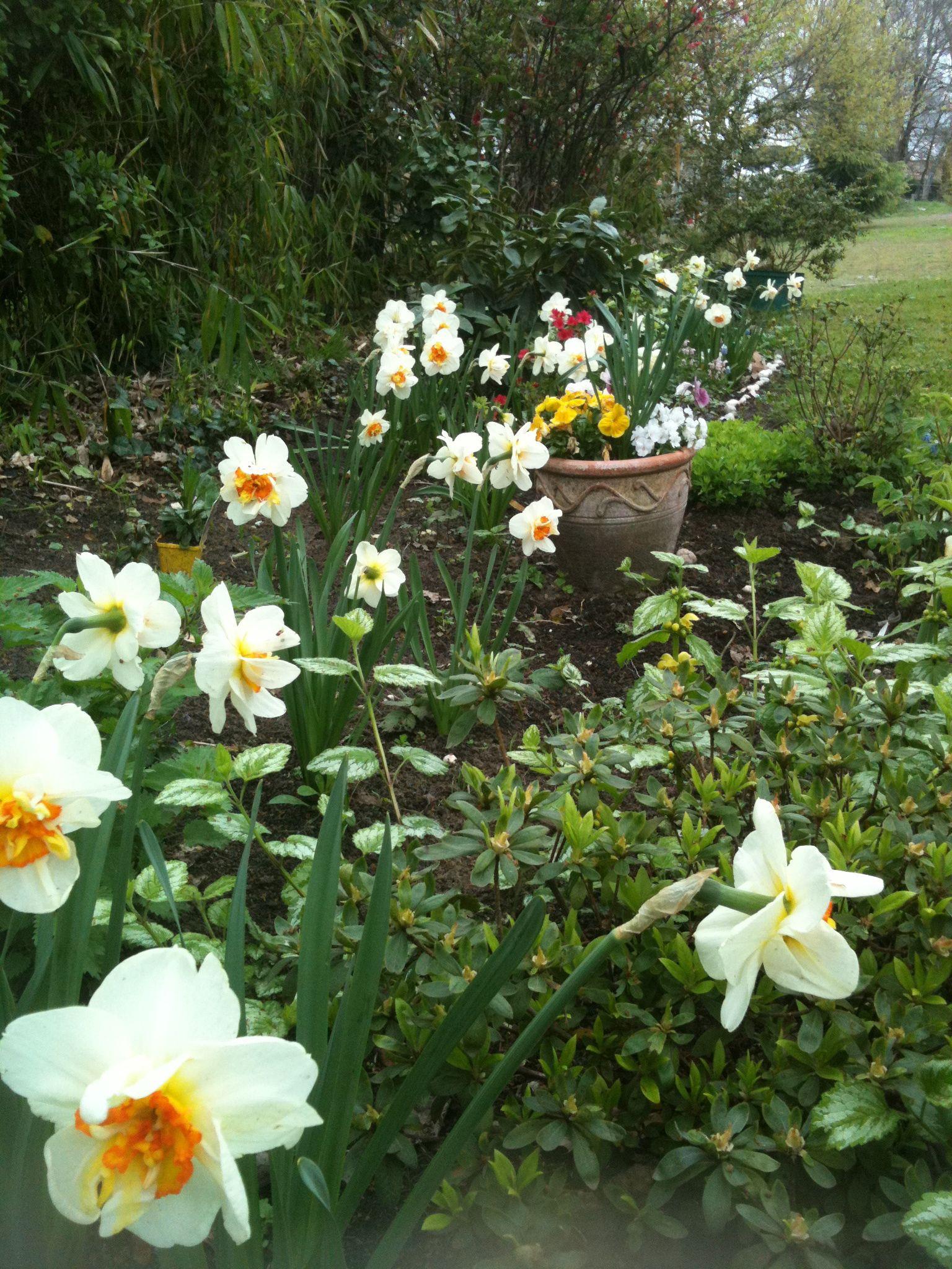 Narcisse double Beauty (avec images) Bulbes de printemps
