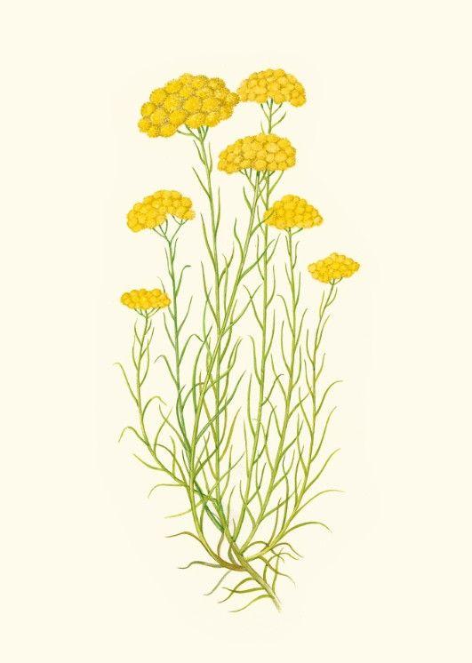 Helichrysum italicum | Herbalist cures en 2019 | Fleur ...