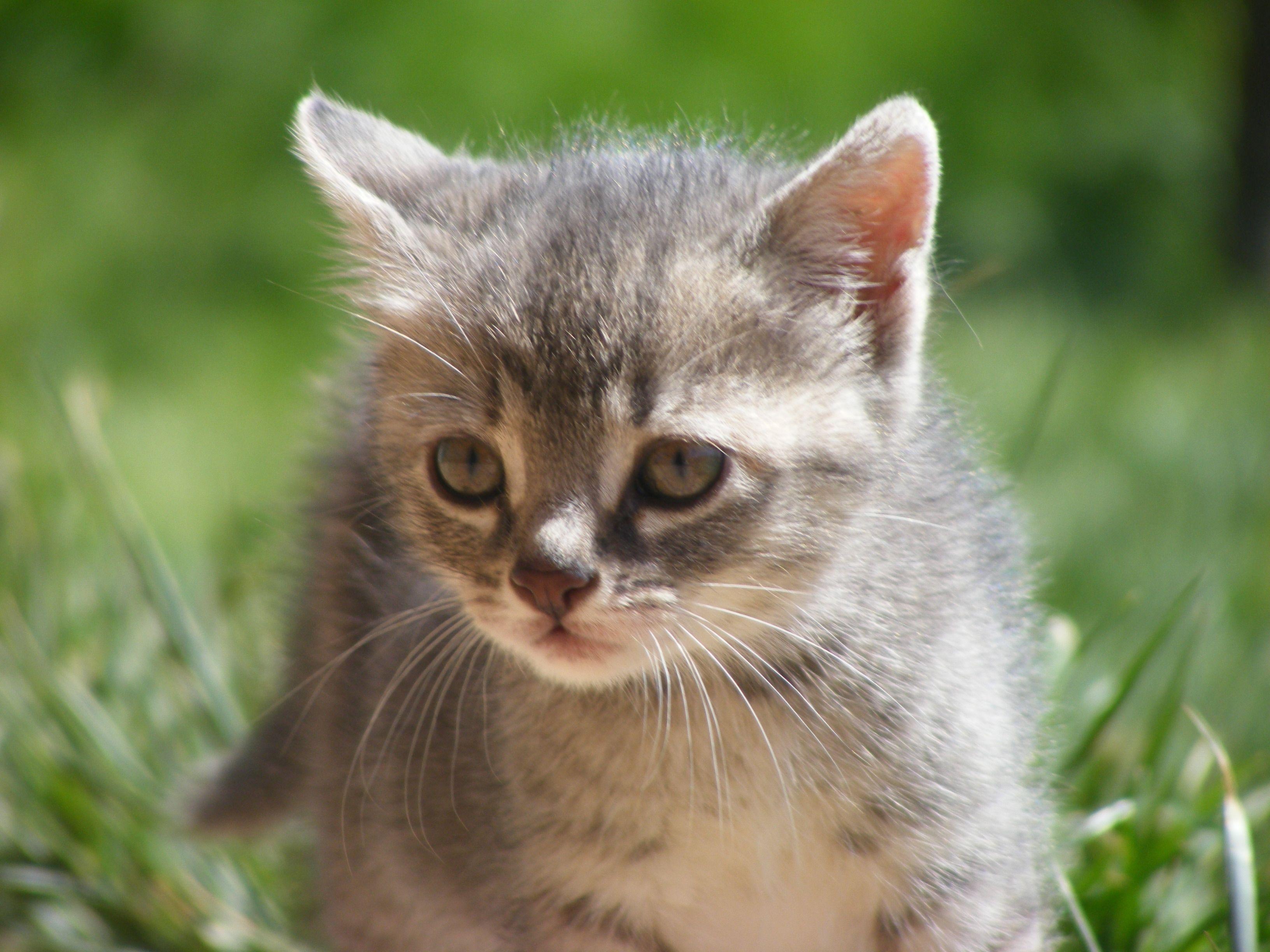 """"""" Fufú """" Linda Gatita !! Gatos gatitos Cachorros de"""