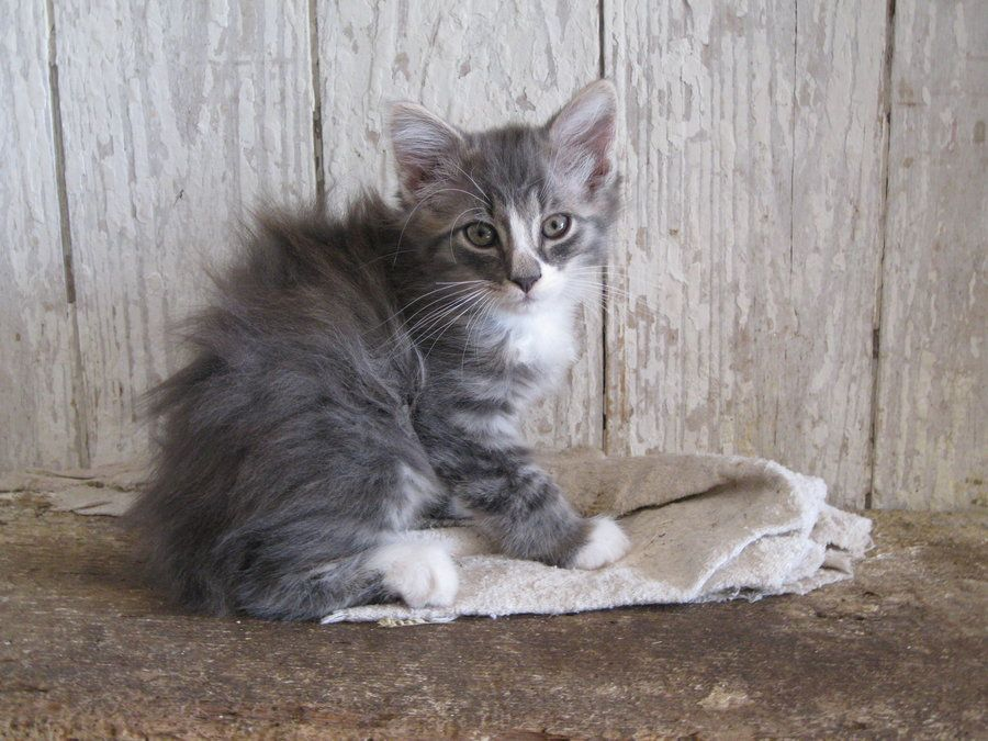 Long Haired Gray Tabby Cat I Love This One Click To See More Like This Grey Tabby Cats Cute Cats And Dogs Cat Pics
