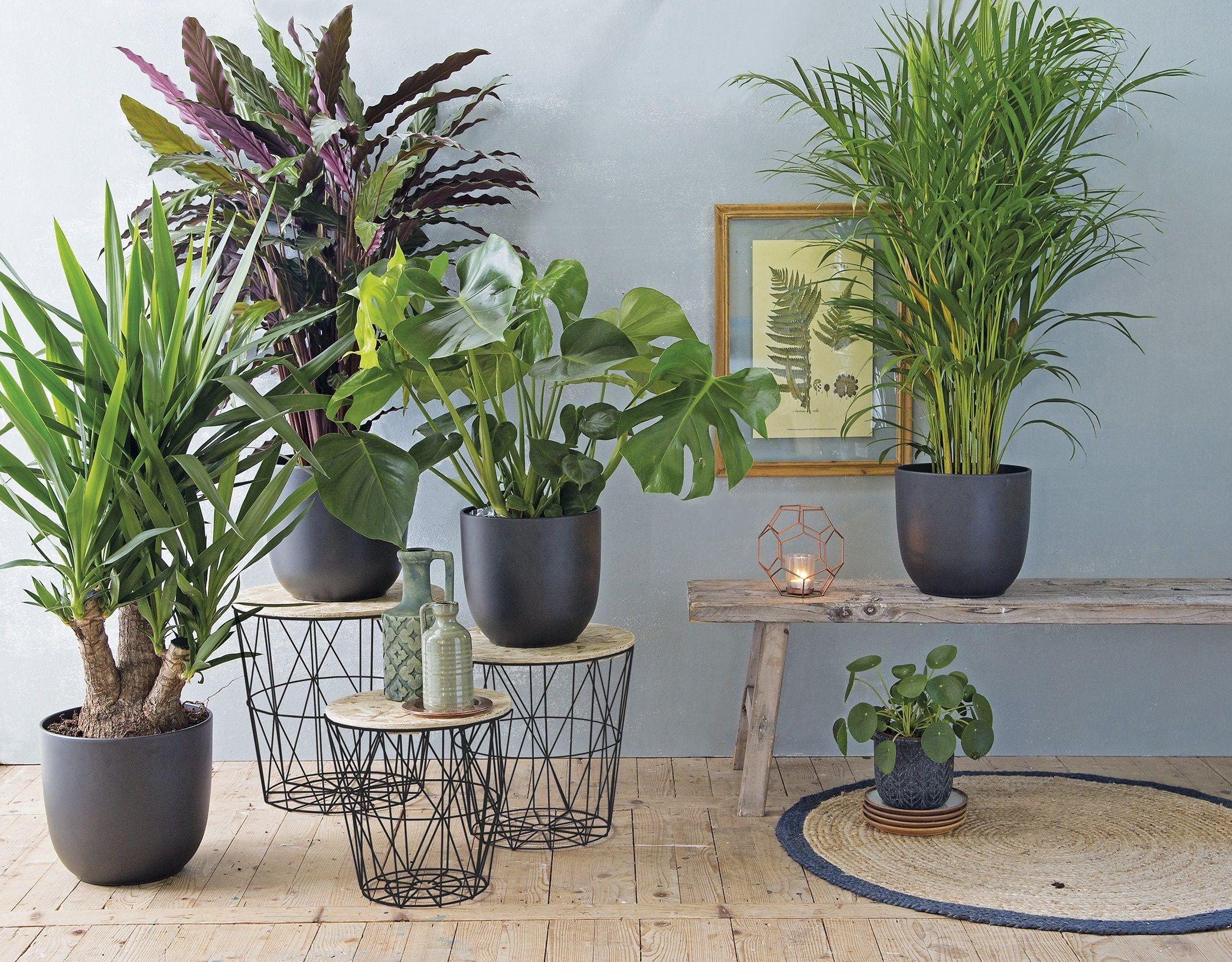 Grote Plant Woonkamer : Mooie grote kamerplanten voor in de woonkamer kamerplanten