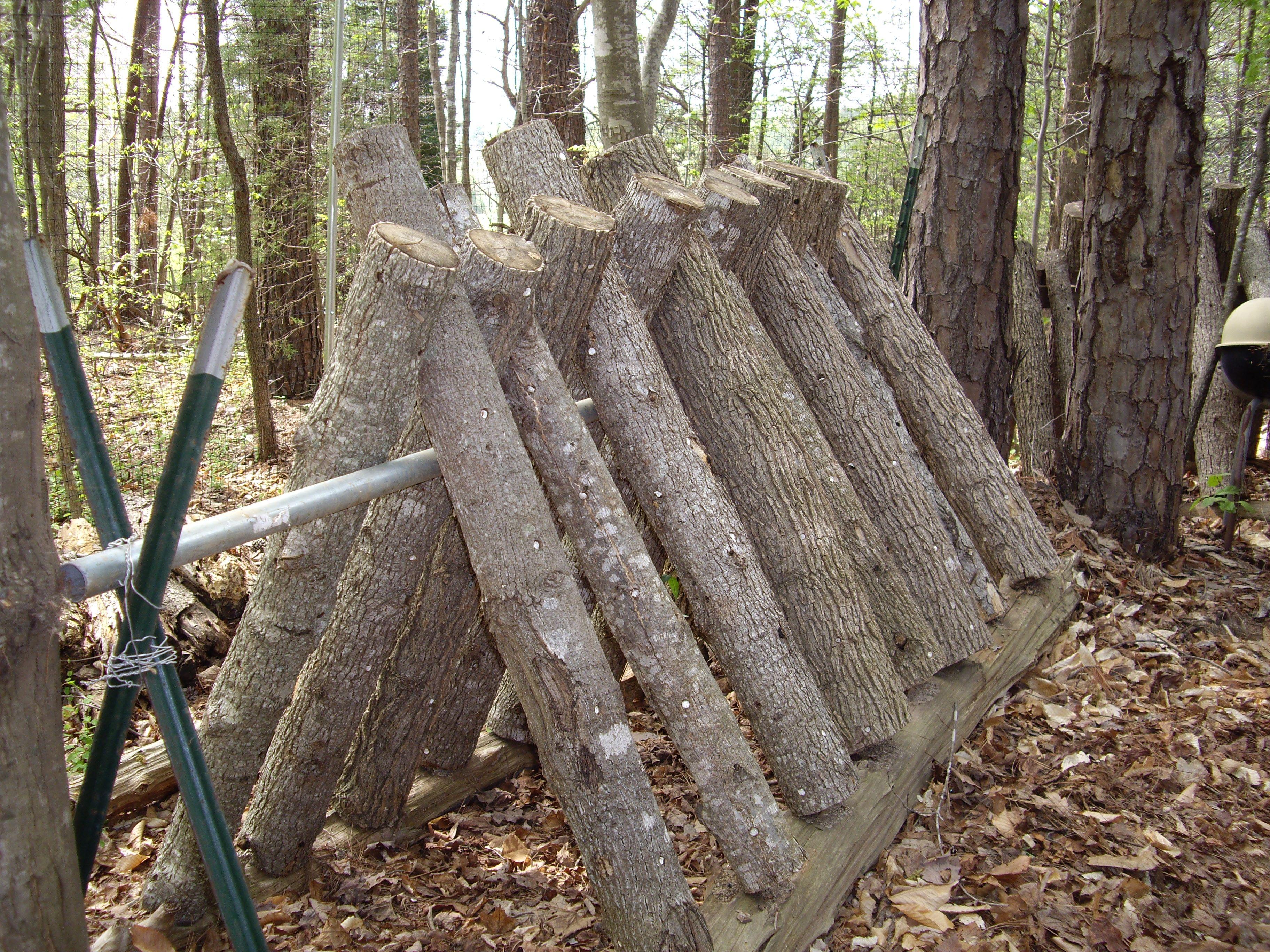 Mushroom logs.. agroforestry...forest farming Stuffed