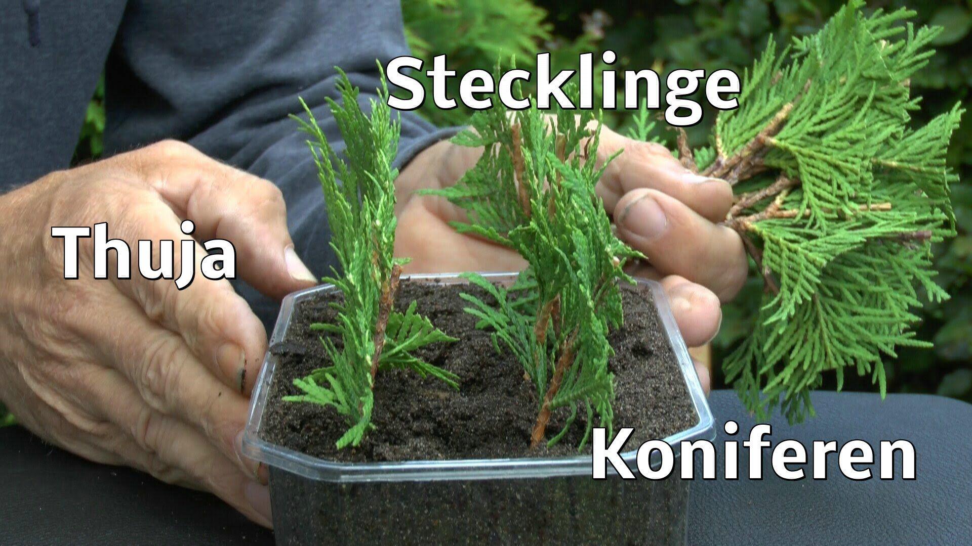 thuja stecklinge von koniferen ganz einfach vermehren zeigt der g rtner pflanzen vermehrung. Black Bedroom Furniture Sets. Home Design Ideas