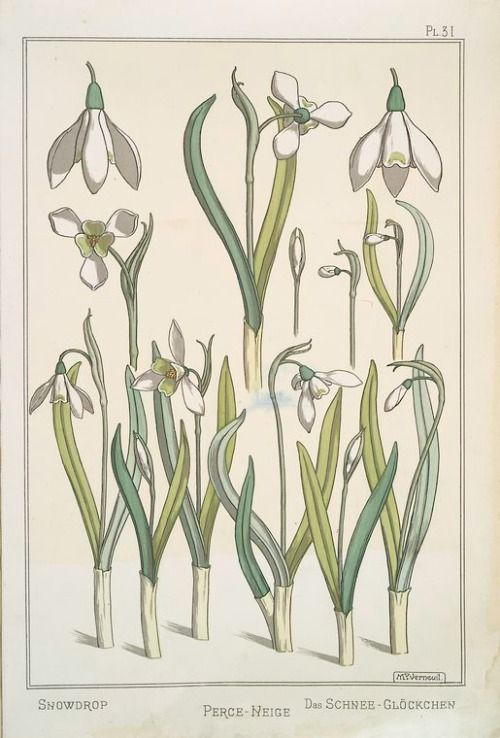 Snowdrop Circa 1896 By Maurice Pillard Verneuil From La Plante Et Ses Applications Ornementale Botanical Illustration Botanical Drawings Botanical Painting