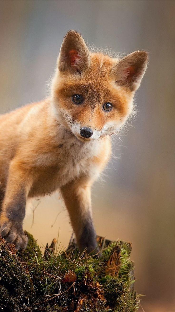 #Animals #Fox Cub Tierbaby Cute Hd #wallpapers hd 4k Hintergrund für Android: …   #Android …