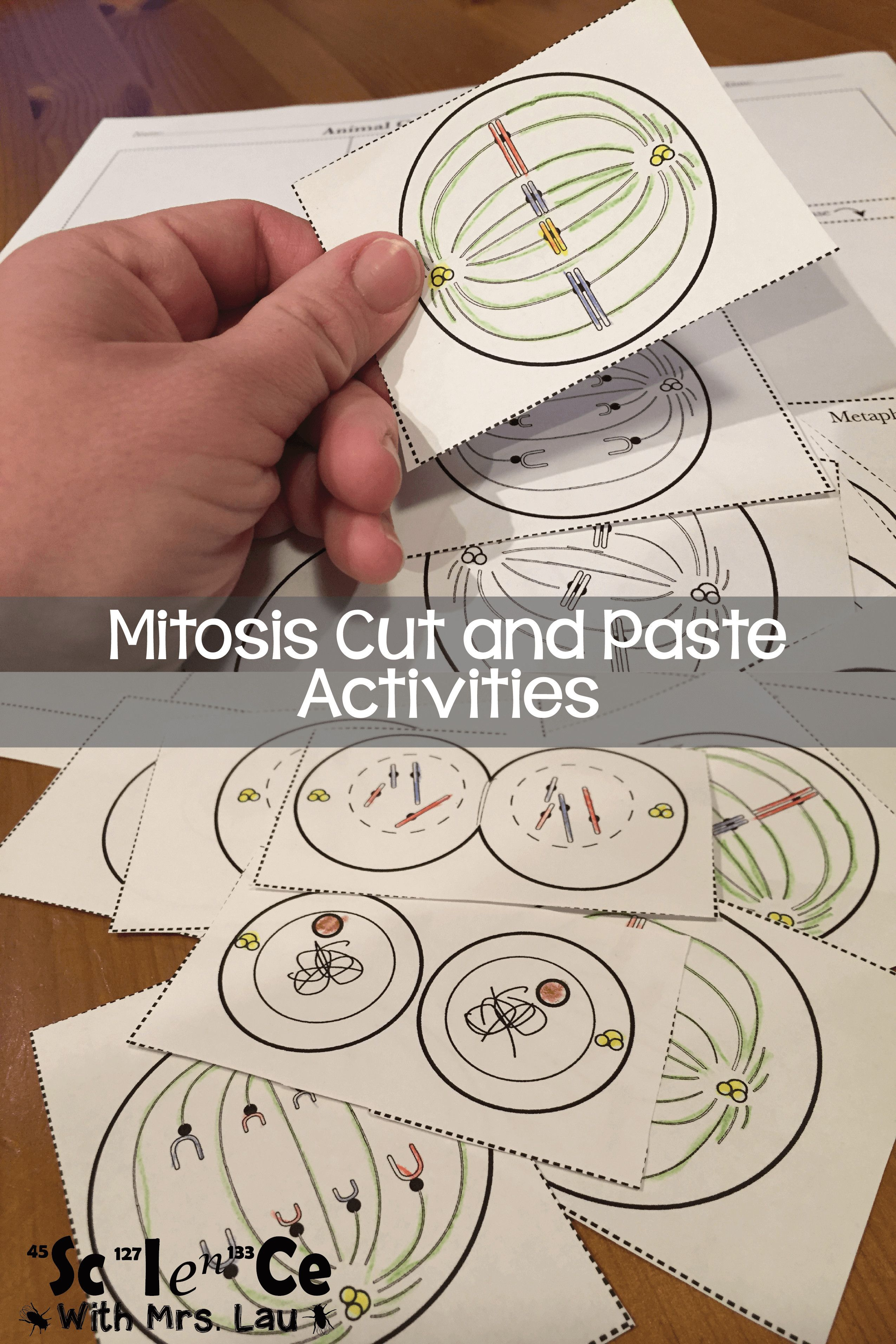 Readable Mitosis And Meiosis Worksheet Answers Mitosisand