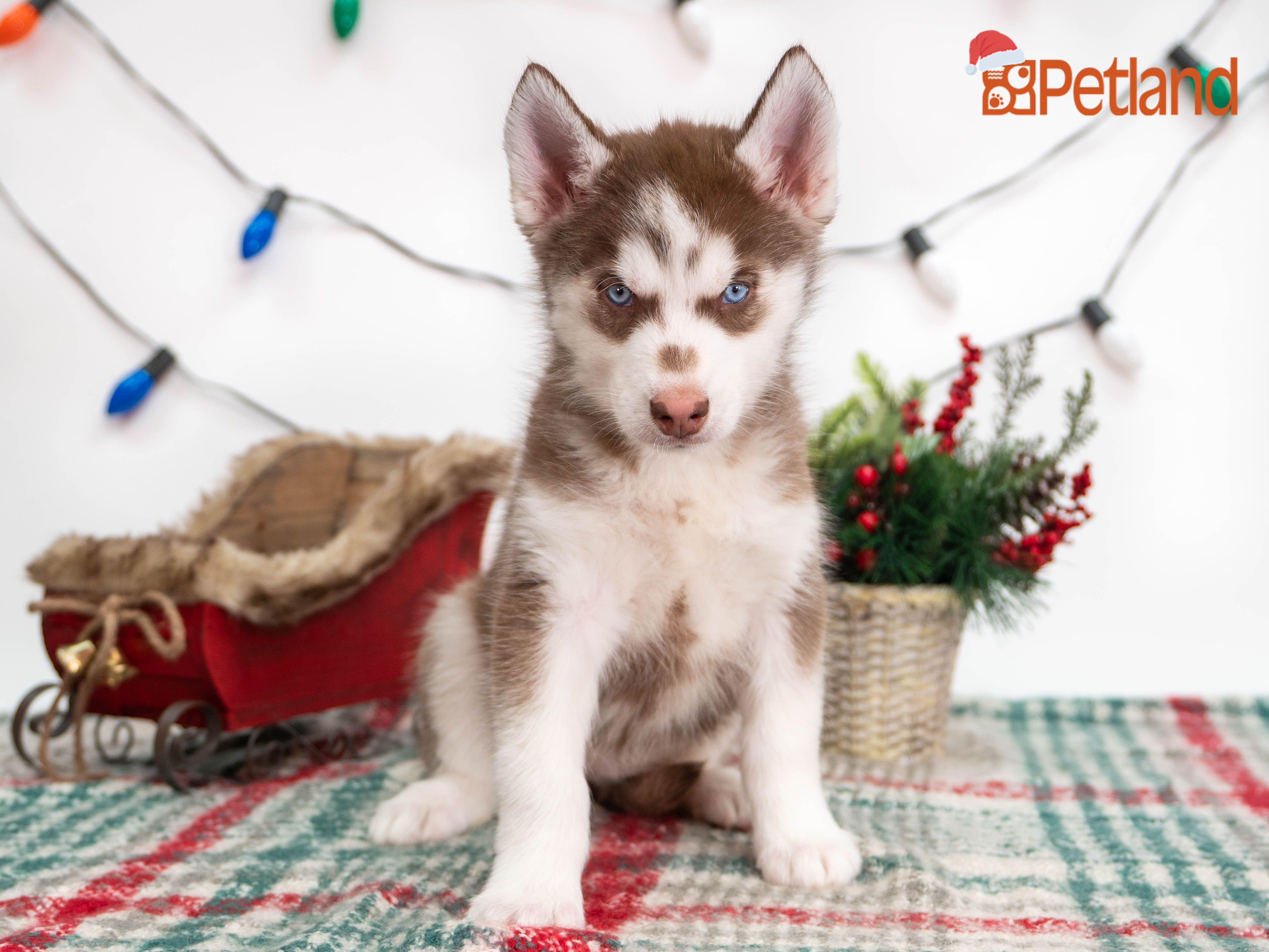 Puppies For Sale Puppy friends, Husky puppies for sale