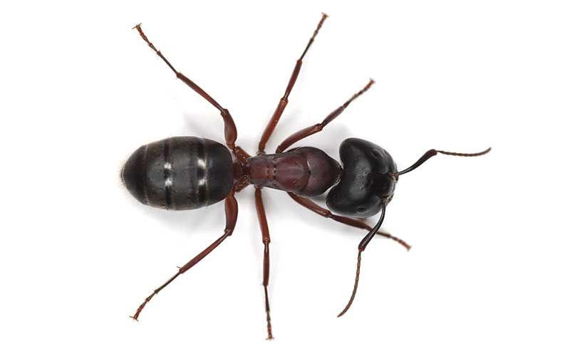Anatomía externa de una hormiga | Insectos | Pinterest | Hormigas ...