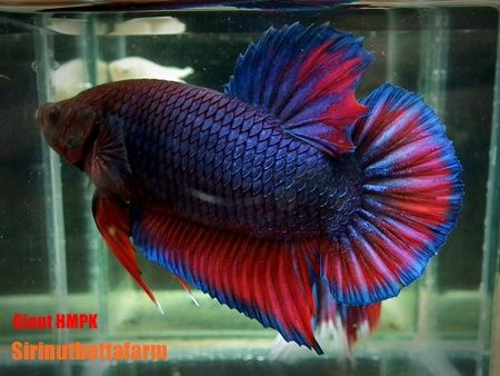 Giant halfmoon 450 338 acuario for Giant betta fish for sale