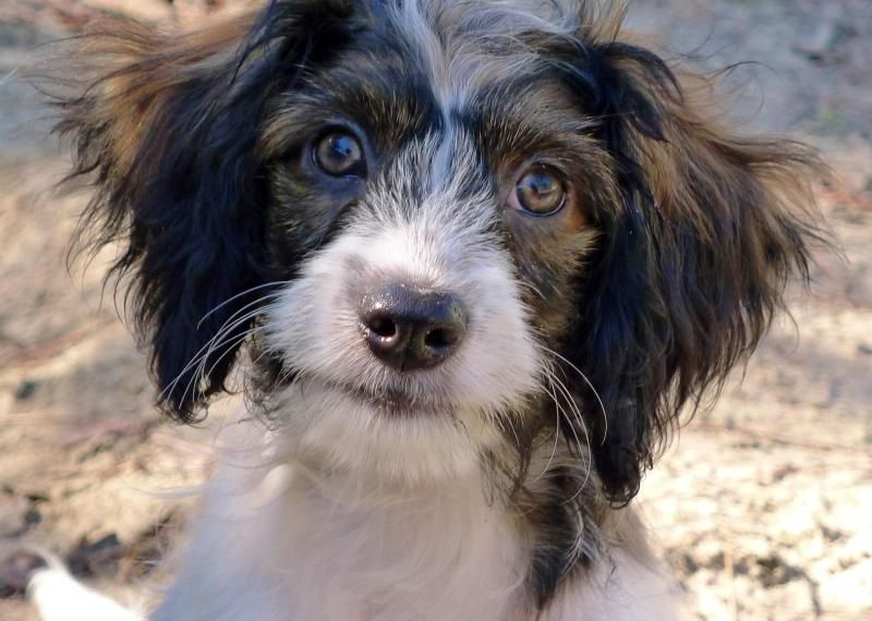 Meet Faddle The Cavapoo Puppy A Petfinder Adoptable Cavalier King
