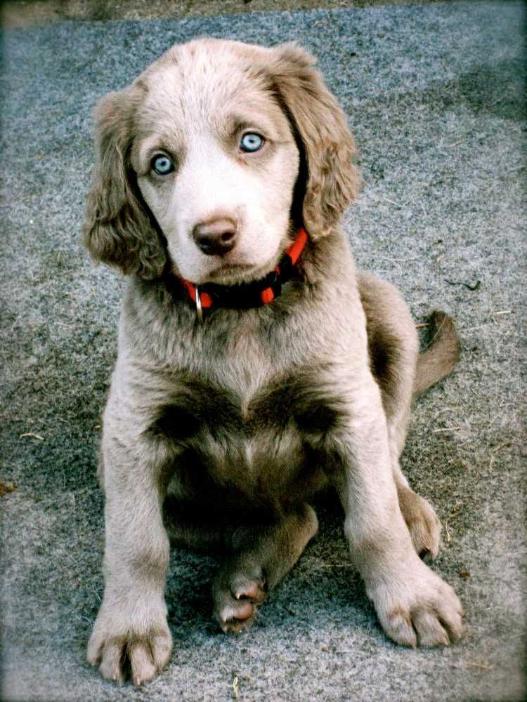 Longhaired Weimaraner Puppies For Sale Weimaraner Dogs Puppies Weimaraner Puppies Weimaraner Dogs Puppies