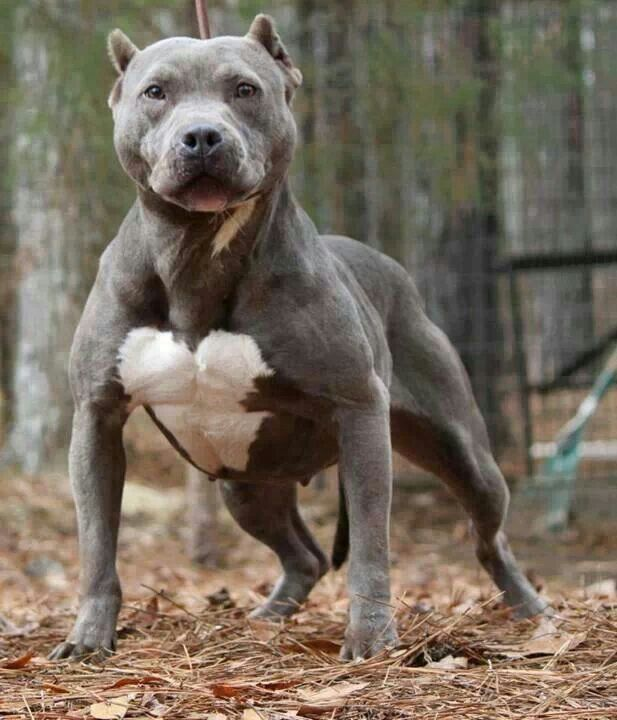 Wow He Is A Big Boy Dogs Pitbull Puppies Pitbulls