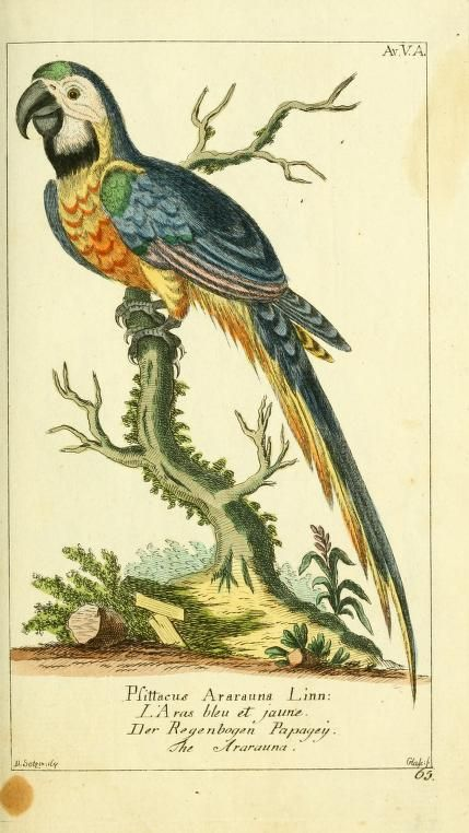 Blue and yellow macaw, Gemeinnüzzige Naturgeschichte des Thierreichs, Georg Heinrich Borowski, 1780-89.