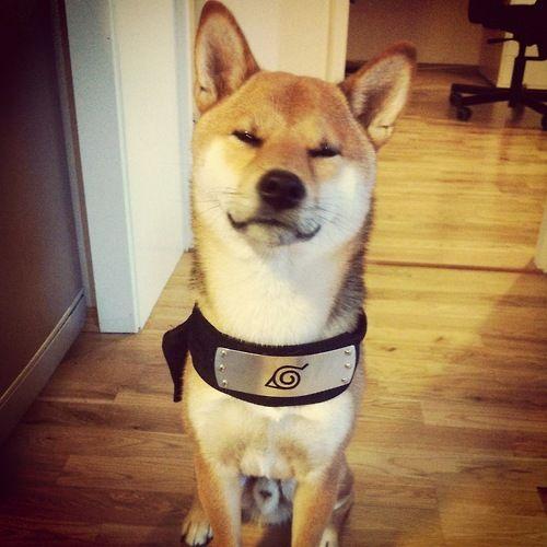 Ahhhhhhh Anime Fangirl Scream I Found Akamaru Shiba Inu Puppy
