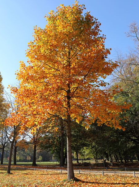 10 Trees For Fast Growing Privacy Page 11 Of 11 Tulip Poplar
