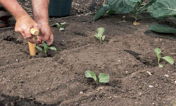 голова садовая как сажать капусту на рассаду