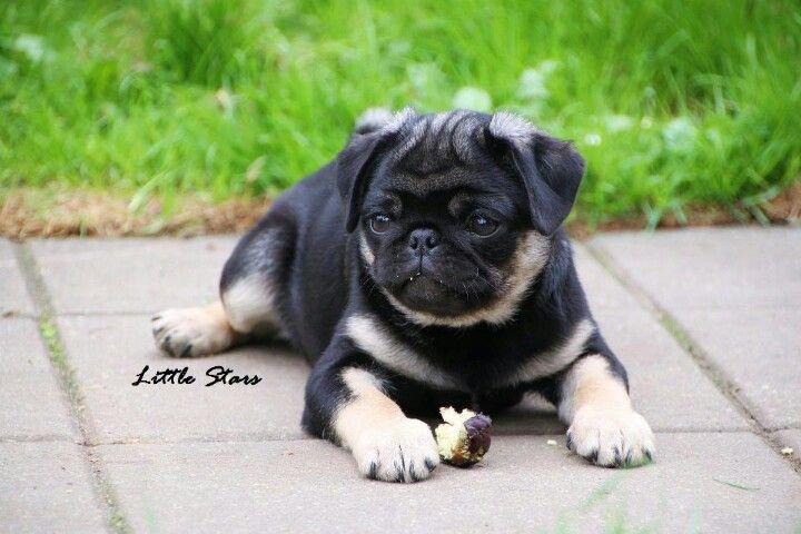Omg Looks Like A German Shepard Pug German Pugard Lol Cute