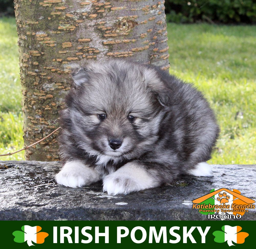 Katiebrooke Kennels Pomsky Specialists Ireland 1000 Uk 1200 Europe 1200 Usa F2 Pomsky Puppy Doug Brow Pomsky Puppies Pomsky Puppies For Sale Puppy Eyes