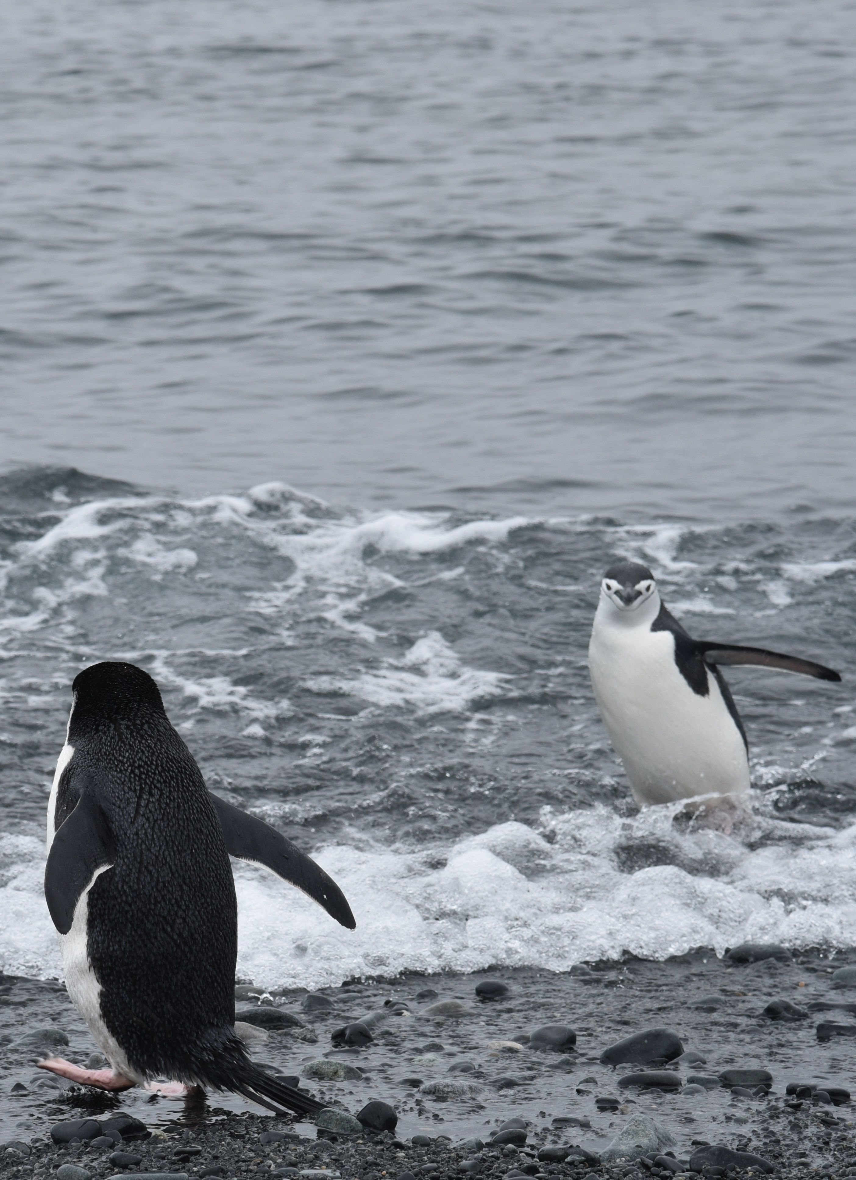Chinstrap Penguins Arrive From A Swim!