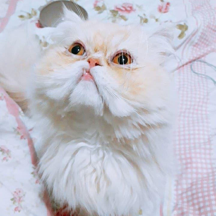 Yes I do have honey eyes  #persiancat #persiancats #persiancatlovers #persiancorner #persian #persiankitten ...