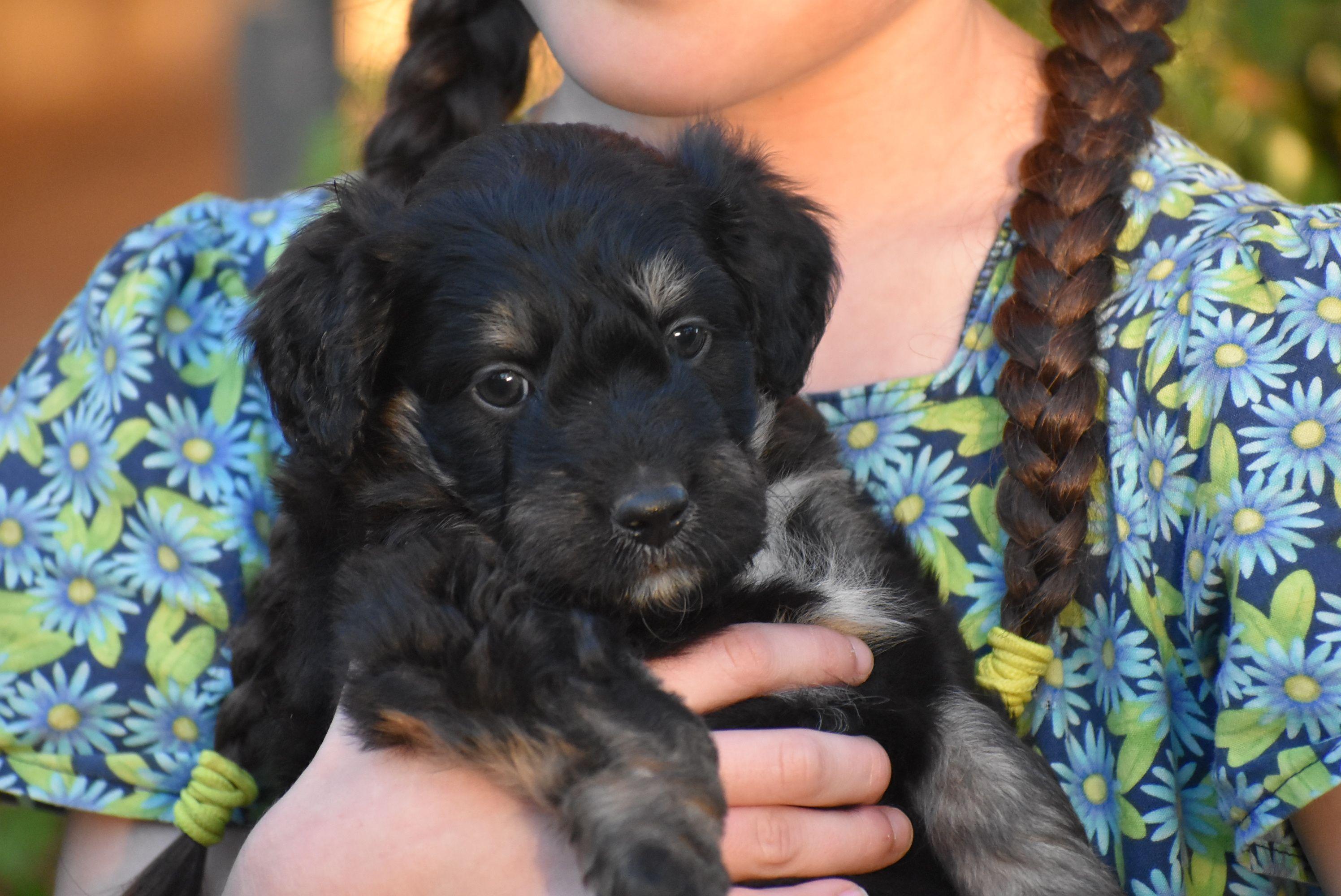 Border doodle puppy poodle puppies for sale poodle