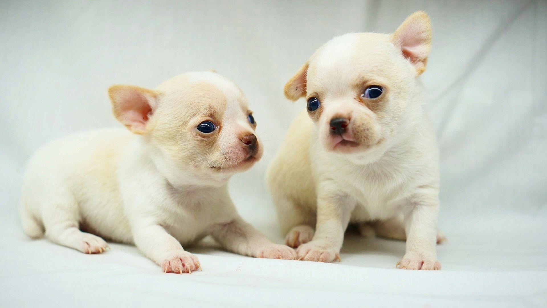 Rio Farm Chihuahua Puppies Puppies Chihuahua