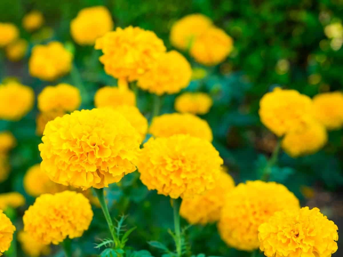 13 Amazing Plants That Repel Flies And Bugs Plants That Repel
