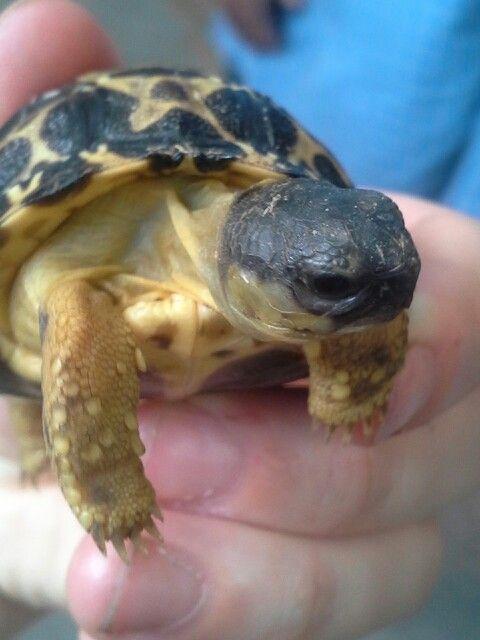 Radiated tortoise D Galapagos tortoise, Tortoise turtle