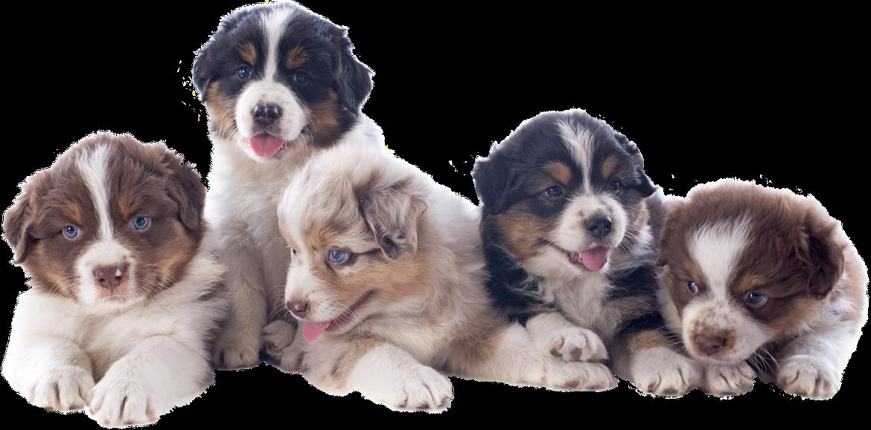 Mini Australian Shepherd Puppies Available In Phoenix Amp Tucson