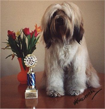 The Tibetan Terrier Is Not Actually A Terrier At All They Were Originally Kept By Tibetan Monks Almost 2 000 Ye Dog Breeds Medium Dog Breeds Medium Sized Dogs