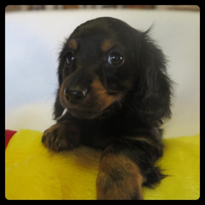 Breeder In Florida Should Have Some Ready In Feb Dachshund Puppy