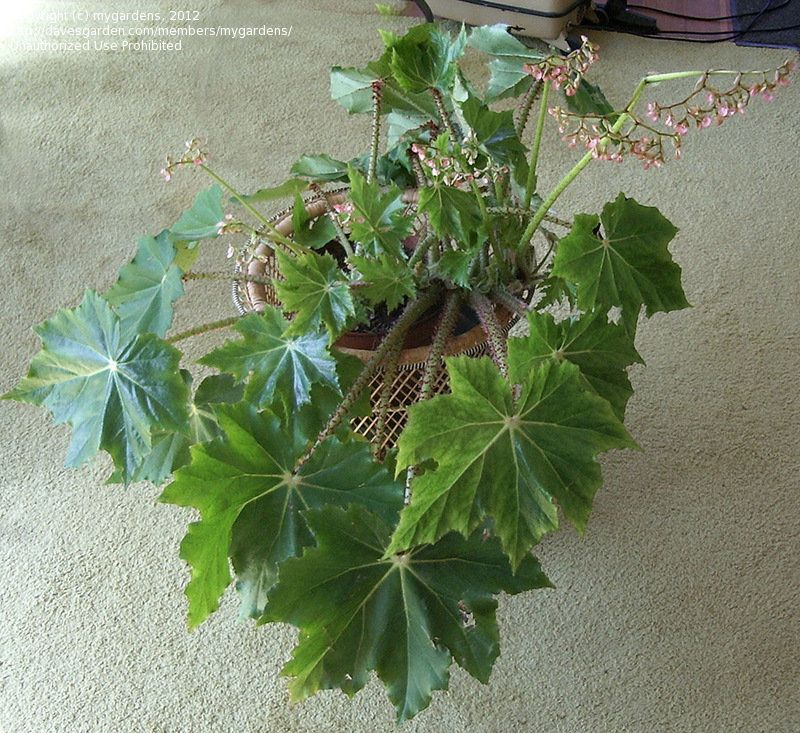 View Picture Of Begonia Begonia Ricinifolia At Dave S Garden