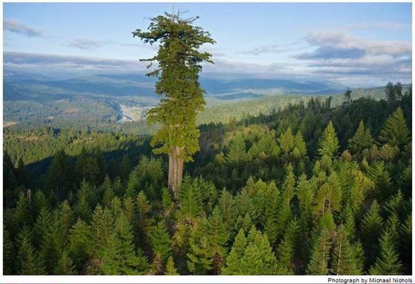 ¡Éste es el ser vivo más alto del planeta! Un Sequoia de 115,5 metros de altura en California. Foto: Michael Nichols