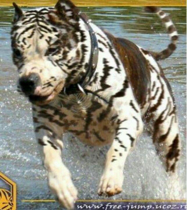 Zebra pit dog Pitt Bulls, Beautiful Dogs, Animals Beautiful, Cute Animals,  Pitbull
