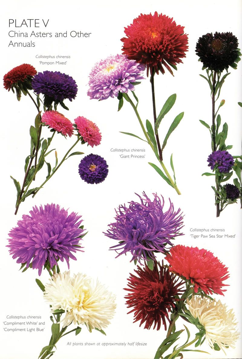Birth Flower For September Forget Me Not Aster Birth Flowers September Birth Flower Flowers