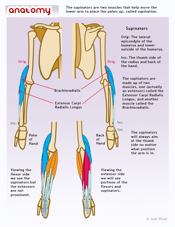 Muscles of the arm: supinators | Anatomy for Massage Therapists ...