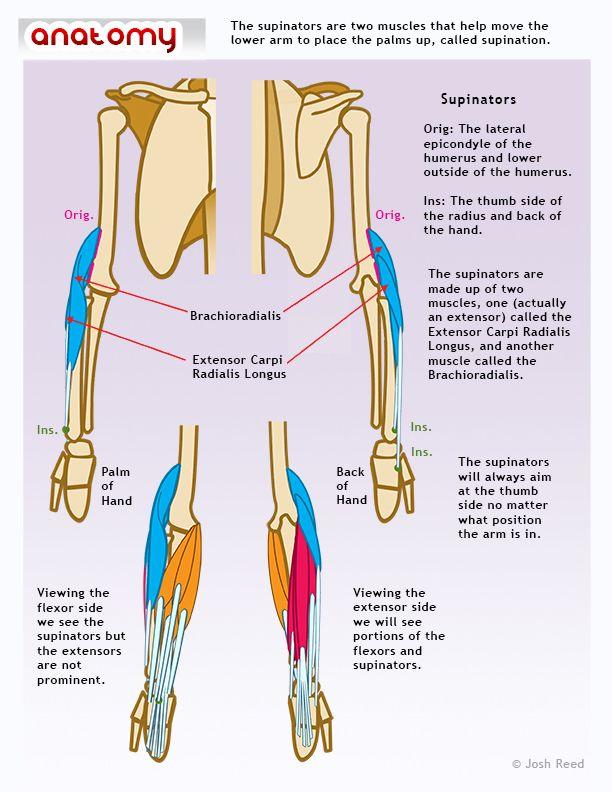 Supinators. #Anatomia para dibujo | Anatomia inspiración | Pinterest ...